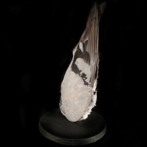 teardrop-pigeon